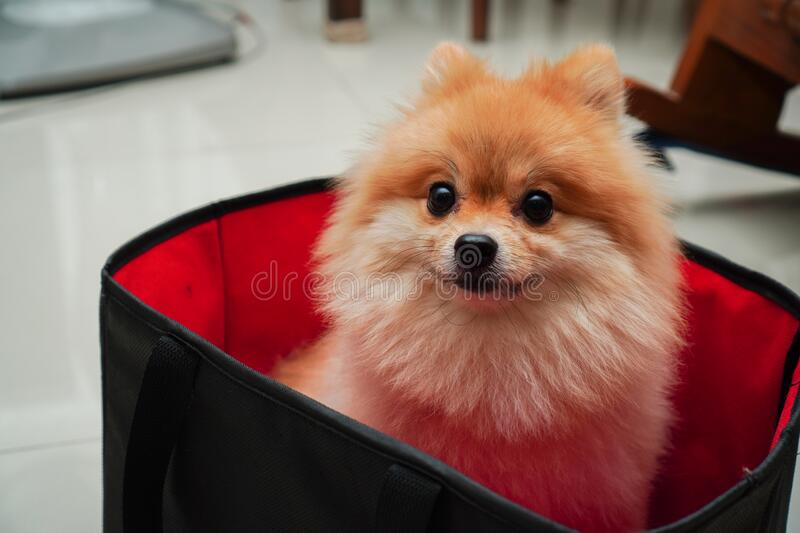 Pet, small dog breed or pomeranian, it sitting in foldable cloth basket cube storage that places at home. Close up on pet, small dog breed or pomeranian, it stock images