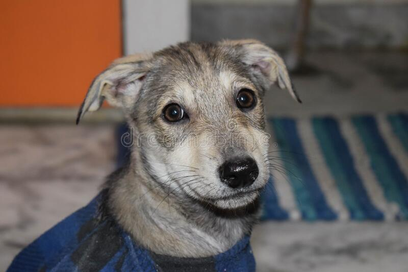 Pet stray dog puppy wearing in blue checked T-shirt laying on floor, white floor background, sad dog with clothes.  royalty free stock photo