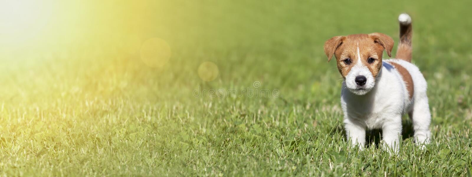Pet summer concept, banner of a cute dog puppy as standing in the grass stock image