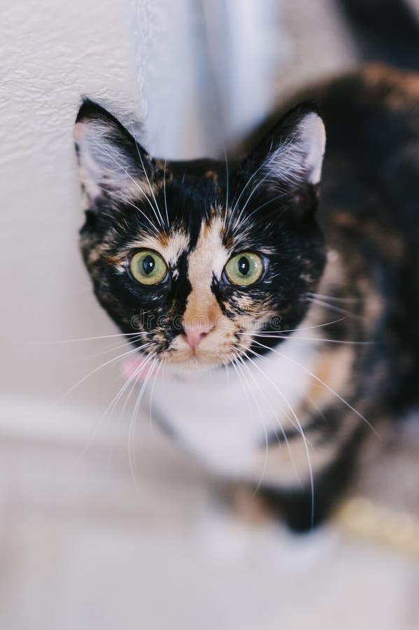 Pet Tabby Cat royalty free stock photos