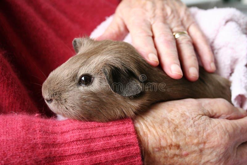 Pet therapy guinea pig stock photos