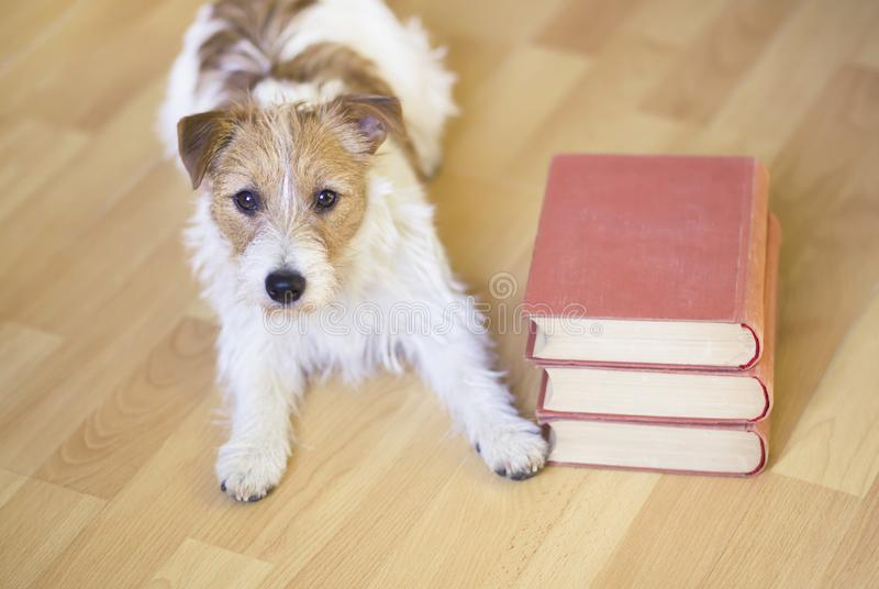 Pet training, back to school concept - cute obedient dog laying with books. Pet training, back to school concept - cute obedient jack russell puppy dog laying royalty free stock photo