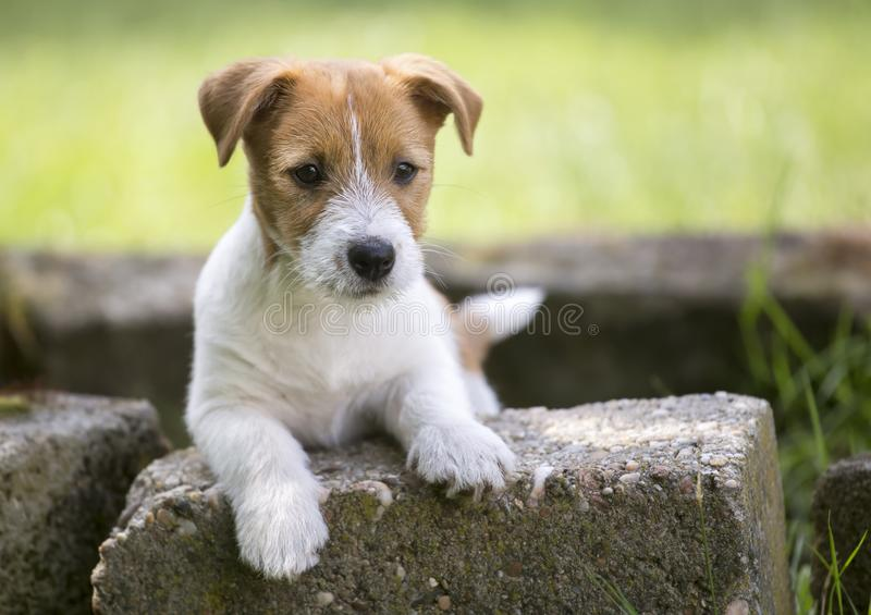 Pet training concept - puppy dog looking to his owner stock photography