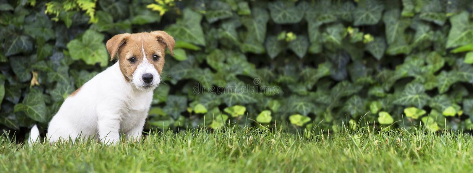 Pet training, obedience concept - jack russell dog puppy sitting. Pet training, obedience, dog shool concept - jack russell terrier happy smart puppy sitting in royalty free stock photo