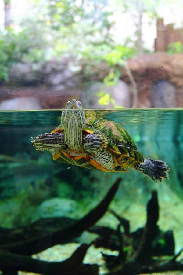Pet Turtle on Aquarium. Photo of partially submerged turtle in Aquarium royalty free stock image