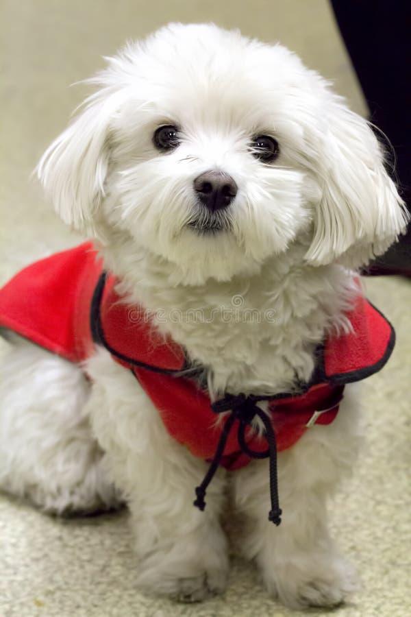 Pet un cane di razza maltese fotografia stock immagine for Cane razza maltese