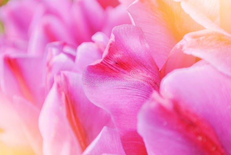 Peta van de close-up macro mooie roze violette rode weelderige trillende tulp stock foto's