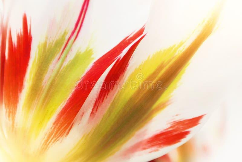 Peta van de close-up macro mooie witte rode groene weelderige trillende tulp royalty-vrije stock foto's