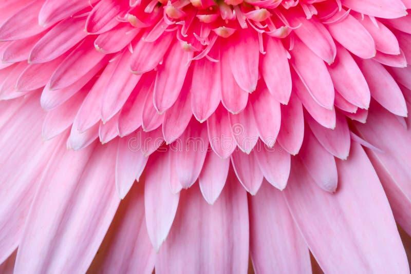 Petails rosados de la margarita imagen de archivo libre de regalías
