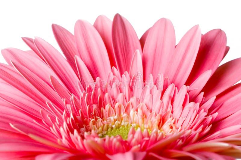 Petails rosados de la margarita imagen de archivo