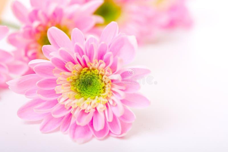 Petails rosados de la margarita fotos de archivo libres de regalías