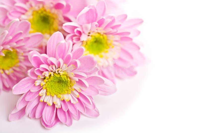Petails rosados de la margarita imagenes de archivo