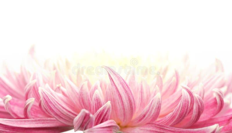 petal för chrysanthemumcloseupblomma royaltyfria bilder