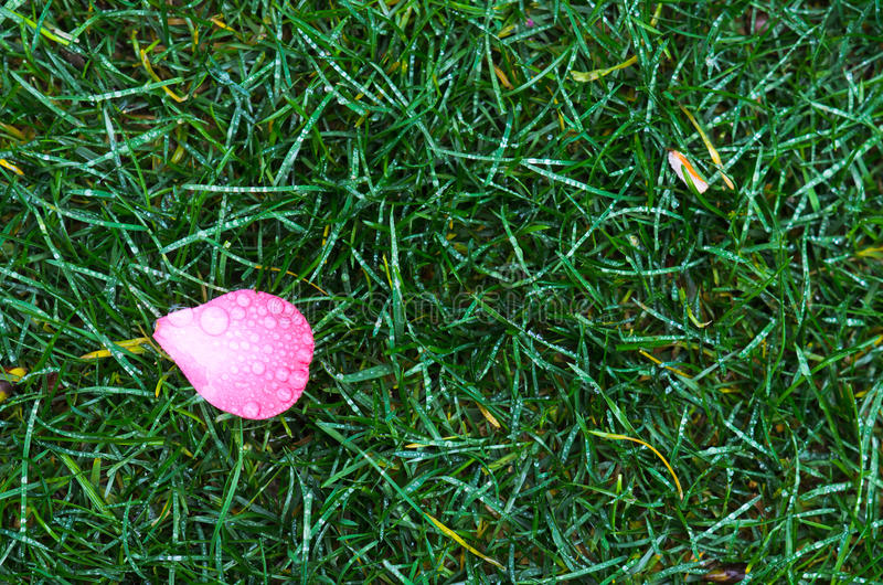 Petal on grass royalty free stock images