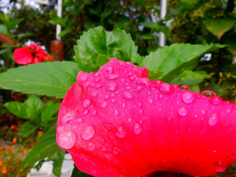 Petal gumamela húmedo después de la lluvia imagenes de archivo