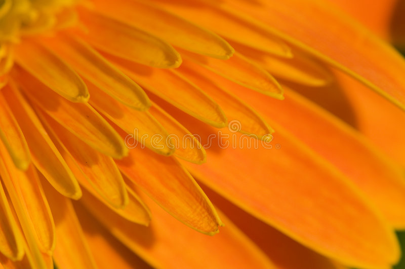 Petal of orange marguerite. The closeup petals of orange marguerite flower stock images