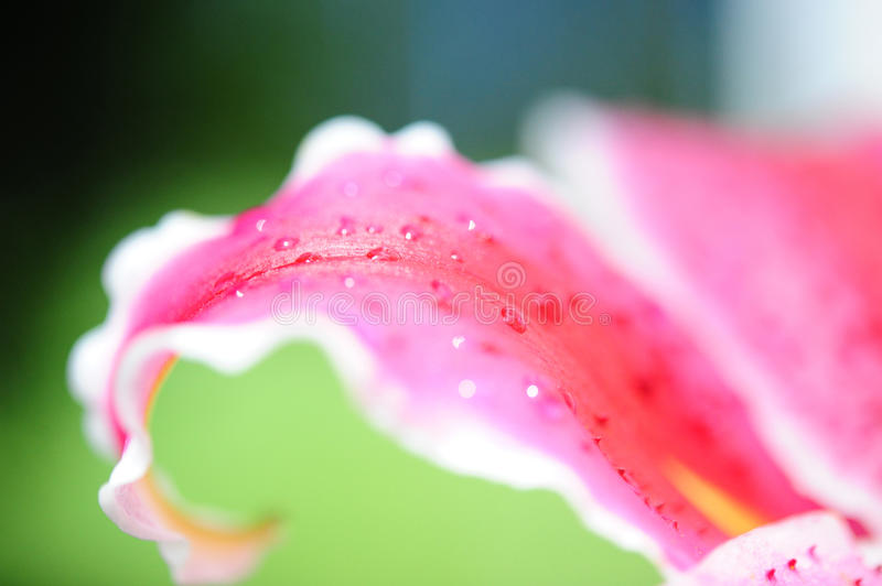 Download Petal pink lilies stock photo. Image of lily, pink, drop - 25787778