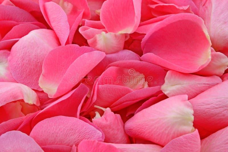 petal różową różę zdjęcia royalty free
