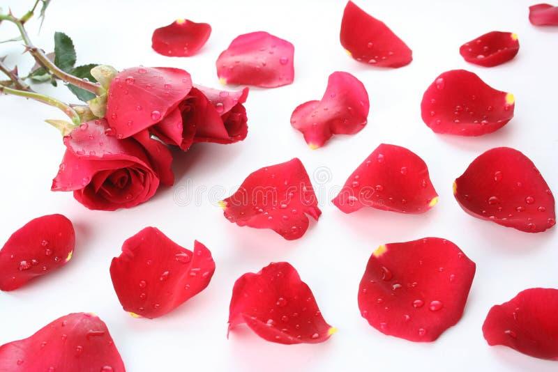 petal rose zdjęcia stock