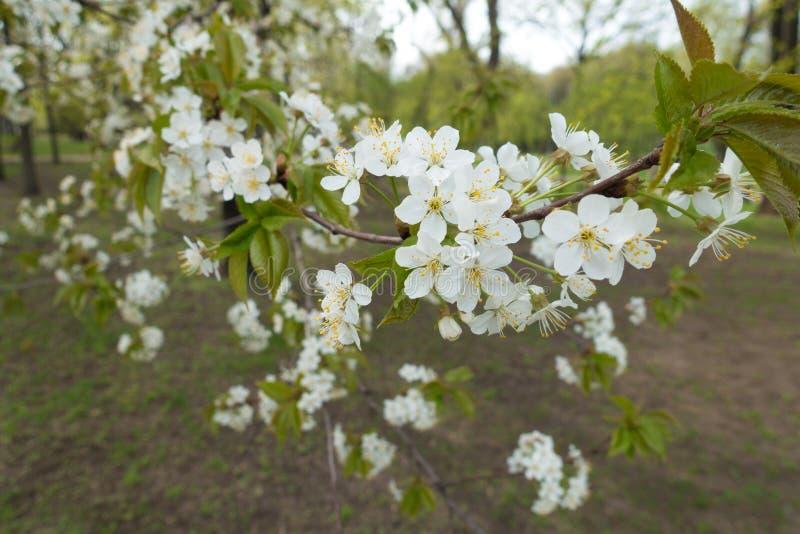 Petaled biali kwiaty wiśnia w wiośnie obrazy stock