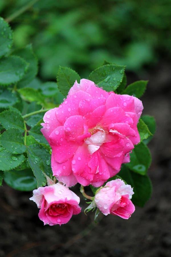 Petali bianchi e di rosa di colore delle rose alla luce ed alle gocce di pioggia di primo mattino, con fondo verde delle foglie d fotografia stock