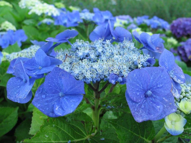 Petali blu 1 fotografia stock