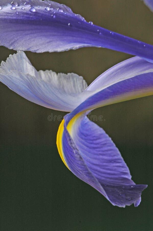 Petali blu due dell'iride immagini stock