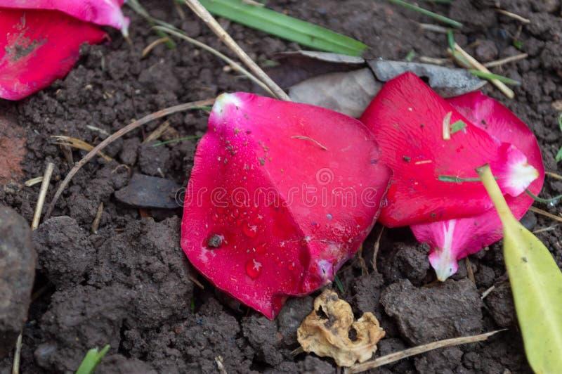 Petali caduti sulla terra sotto le loro piante fotografia stock