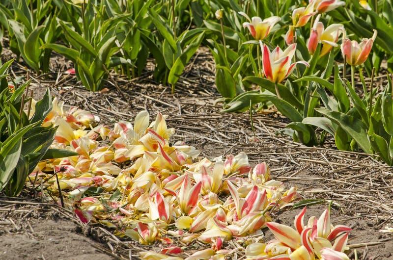 Petali caduti in un solco in un campo del tulipano fotografie stock libere da diritti