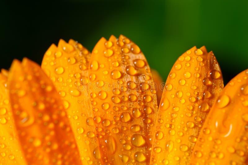 Petali del fiore con le gocce di rugiada fotografia stock