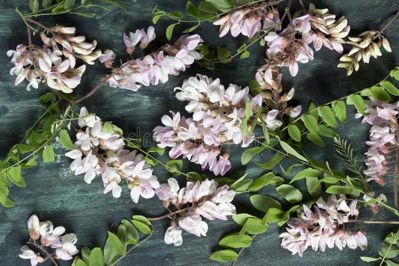 Petali del fiore dell'acacia fotografia stock libera da diritti