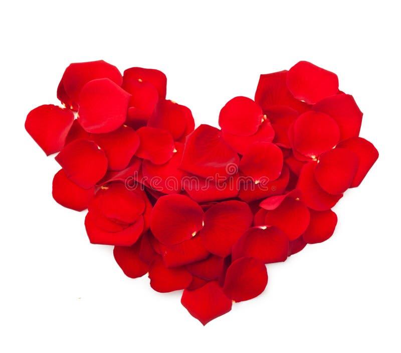 Petali del fiore della rosa rossa immagine stock libera da diritti