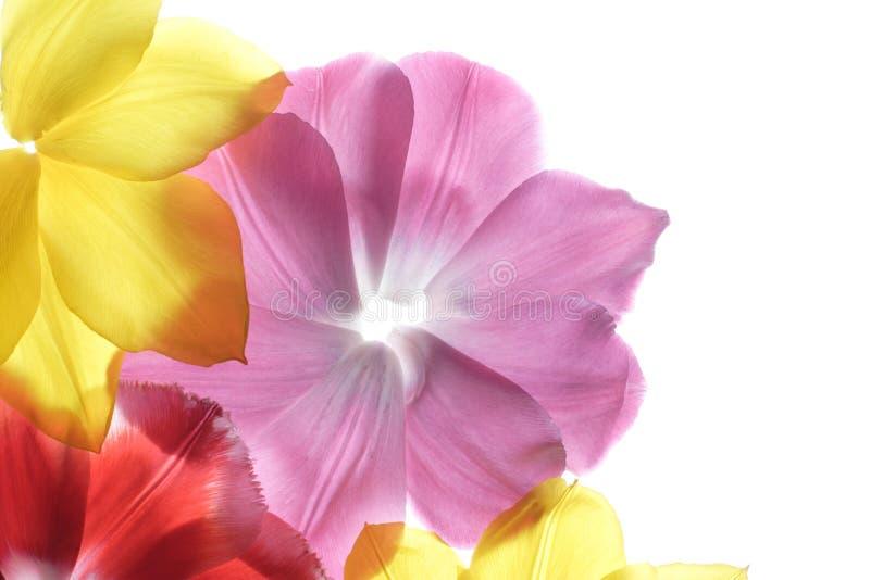 Petali del fiore su una priorità bassa bianca immagine stock libera da diritti