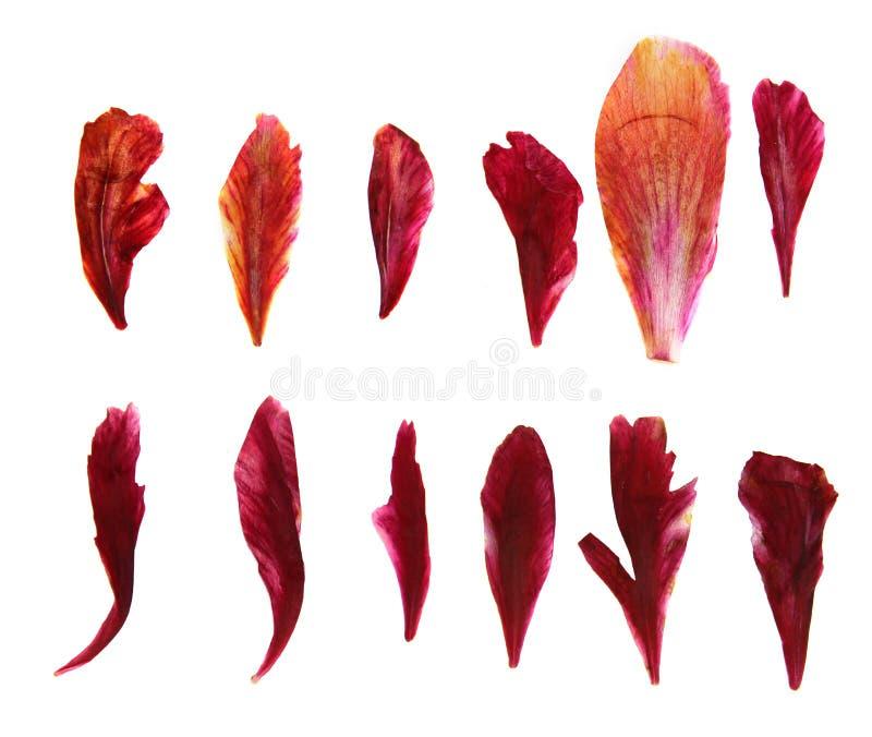 Petali delicati asciutti della peonia urgente e rossa, isolata sulle sedere bianche immagine stock