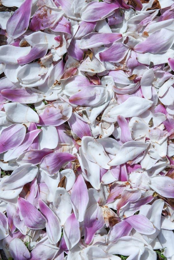 Petali della magnolia sull'erba fotografia stock