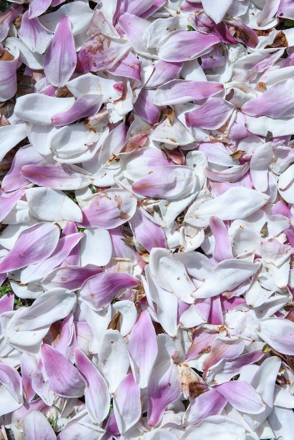Petali della magnolia sull'erba immagini stock