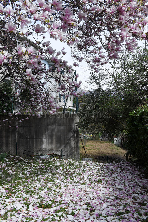 Petali della magnolia sull'erba immagine stock libera da diritti