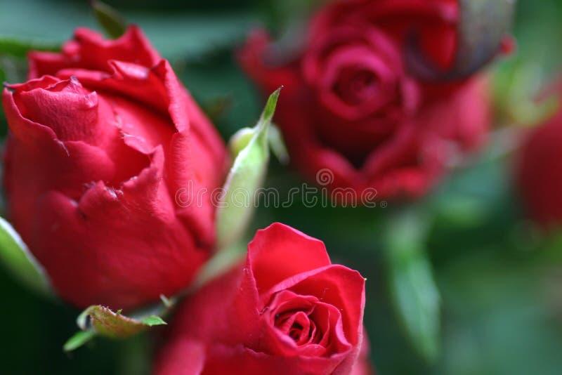 Petali delle rose rosso scuro fotografia stock libera da diritti