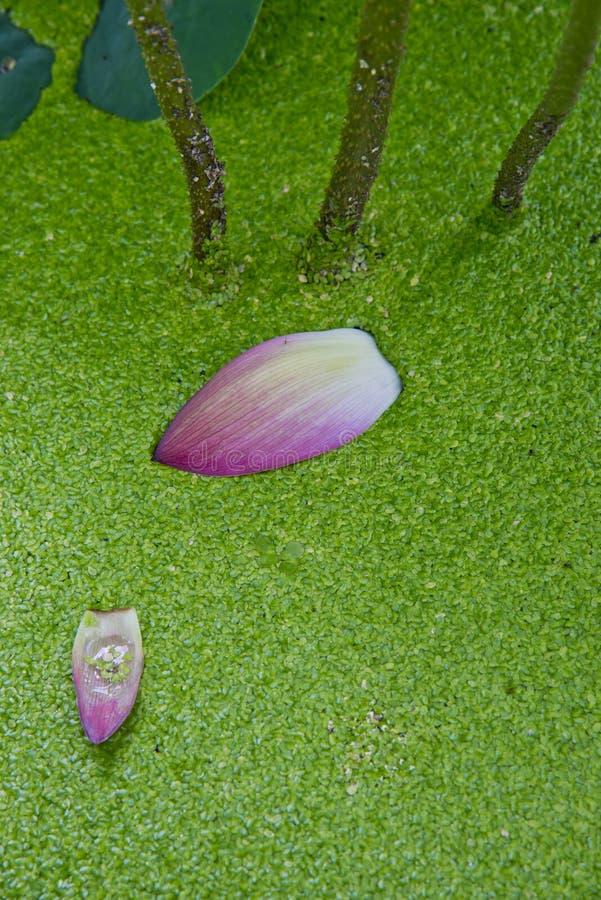 Petali di caduta di Lotus fotografie stock libere da diritti