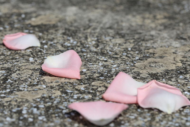 Petali di rosa caduti fotografia stock libera da diritti