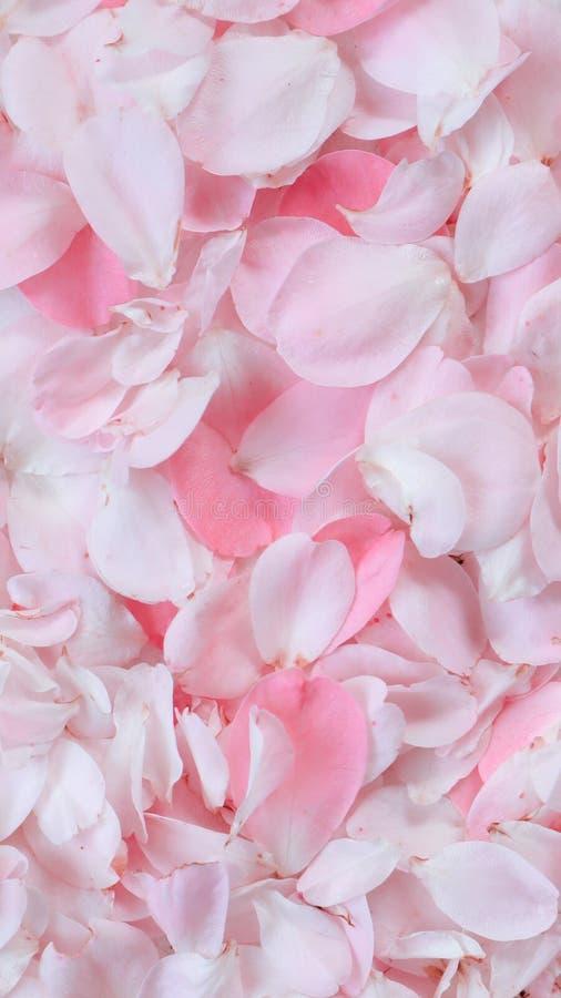 Petali di Rosa dentellare 01 Perfezioni per le cartoline d'auguri del fondo e gli inviti delle nozze, il compleanno, il giorno de fotografia stock