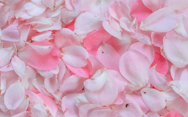Petali di Rosa dentellare 01 Perfezioni per le cartoline d'auguri del fondo e gli inviti delle nozze, il compleanno, il giorno de fotografia stock libera da diritti