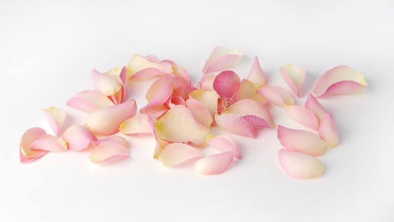 Petali di Rosa isolati su un fondo bianco fotografia stock