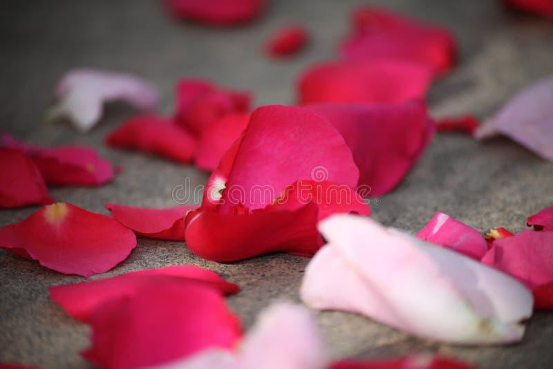 Petali di rosa rossi con poche di loro nel fuoco fotografia stock libera da diritti