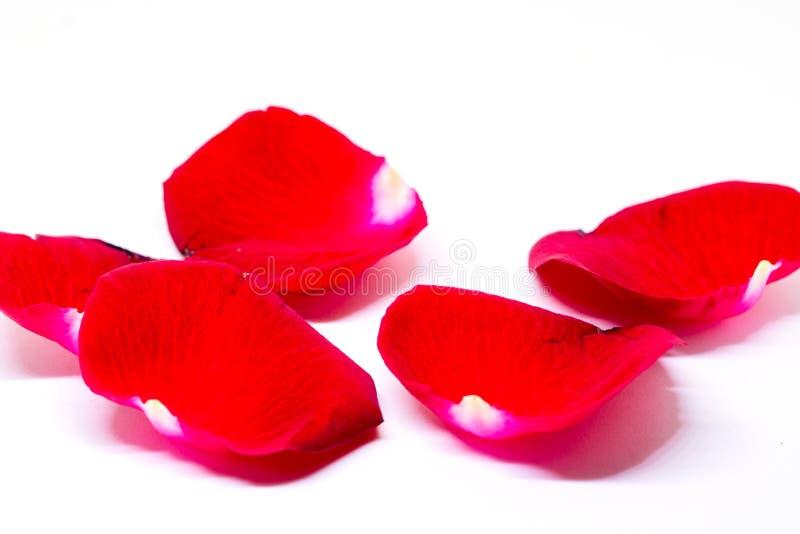 Petali di rosa rossi su priorità bassa bianca Bello petalo del velluto del fiore Modello dell'insegna del fiore di rosa caldo fotografia stock
