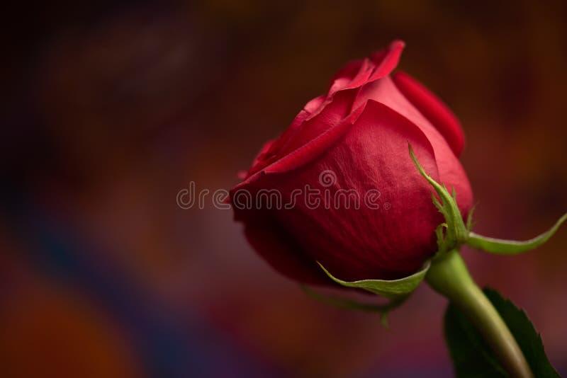 Petali e foglie di rosa rossa fotografie stock libere da diritti