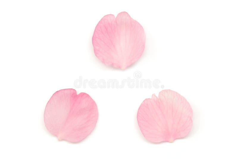 Petali giapponesi del fiore di ciliegia isolati su fondo bianco fotografia stock libera da diritti