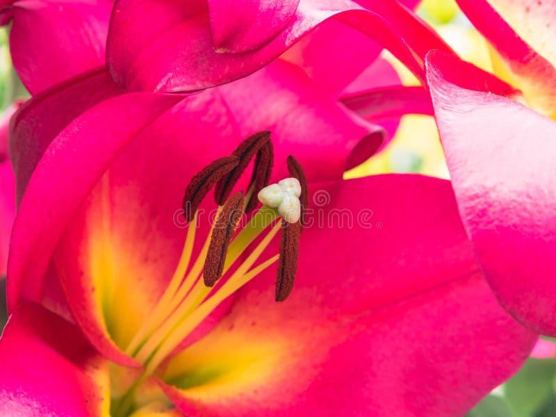 Petali, marchio di infamia ed antere di un giglio rosa fotografia stock libera da diritti