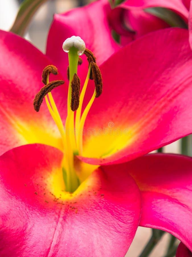 Petali, marchio di infamia ed antere di un giglio rosa fotografie stock libere da diritti