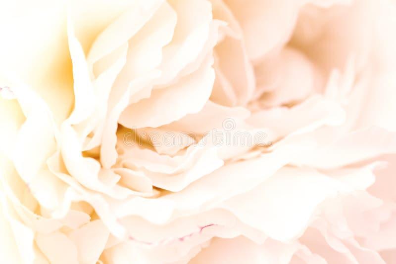 Petali rosa della sfuocatura Unfocused, carta pastello e molle romanzesca astratta del fondo, del fiore immagine stock libera da diritti